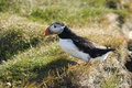 Puffin standing in grass Stock Photos