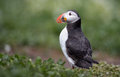 Puffin stands in the grass Stock Photo