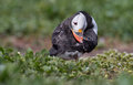 Puffin stands in the grass Stock Photography