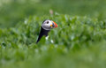 Puffin stands in the grass Stock Image