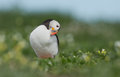 Puffin stands in the grass Royalty Free Stock Photo