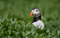 Puffin stands in the grass Royalty Free Stock Image