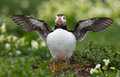 Puffin stretches his wings at innerfarne Stock Photography