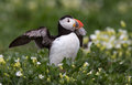 Puffin stretches his wings at innerfarne Royalty Free Stock Photos