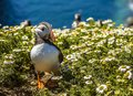 A Puffin strolls through the daisies on Skomer Island, Wales Royalty Free Stock Photo