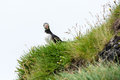 Puffin watching in the camera south iceland Royalty Free Stock Images