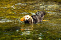 Puffin in water bird swimming a pool of newport oregon Royalty Free Stock Images