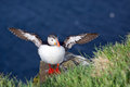 Puffin with wings spread out a its photographed at latrabjarg in the westfjords in northern iceland Royalty Free Stock Photos