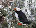 Puffins are any of three small species of alcids (auks) in the bird genus Fratercula Royalty Free Stock Photo