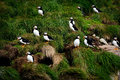 Puffins at bay bulls newfoundland and labrador canada a group of perched on a grassy hill close to the atlantic ocean Stock Photo