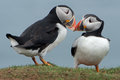 Puffins Billing Royalty Free Stock Photo