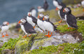 Puffins at the  Farne Islands Royalty Free Stock Photo