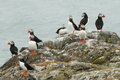 Puffins ( Fratercula arctica ) on a rock Royalty Free Stock Photography