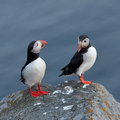 Puffins standing on cliff fratercula arctica cute Stock Image