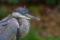 Puffy heron