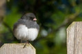 Puffy junco perched on a fencepost cute with one leg Royalty Free Stock Images