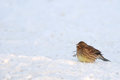 Puffy yellowhammer sitting on the snow Stock Images