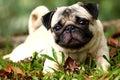 Pug Royalty Free Stock Image