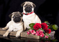 Pug breed puppy and flowers on a black background Royalty Free Stock Image