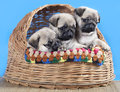 Pug breed puppy and flowers on a black background Royalty Free Stock Photos