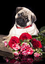 Pug breed puppy and flowers on a black background Stock Photo