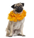 Pug disguised looking at the camera, isolated on white Royalty Free Stock Photo