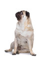 Pug dog Royalty Free Stock Photos