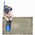 Pug dog with blue vintage wooden beach sign, with goggles, snorkel and flippers for summer, isolated on white background Royalty Free Stock Photo