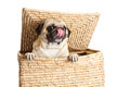 Pug dog in box isolated on white background dog Royalty Free Stock Photo