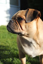 Pug dog close up cross standing on grass portrait Royalty Free Stock Images