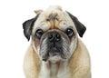 Pug Dog Close-up Looking Forward Center Royalty Free Stock Photo
