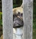 Pug dog curious looking over the fence Stock Photography