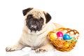 Pug Dog Easter Eggs   On White...