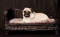 Pug dog and elegant basket Royalty Free Stock Photo