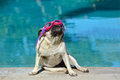 Pug dog with goggles a little female wearing pink looking up attentive facial expression while sitting at the swimming pool in Stock Images