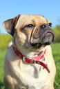 Pug dog head shot close up cute cross outside headshot looking Stock Images