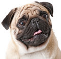 Pug dog isolated on a white background Royalty Free Stock Image
