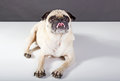 Pug dog laying on white floor showing his tounge Royalty Free Stock Photo
