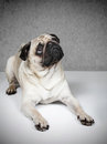 Pug dog looking up Stock Images