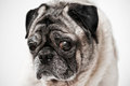 Pug dog with one bad eye Stock Images