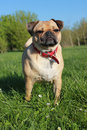 Pug dog outside on grass cross stood Royalty Free Stock Photos