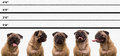 Pug Dog Police Line Up Royalty Free Stock Image