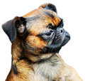 Pug dog portrait Stock Photo