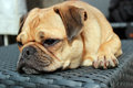 Pug dog resting cute cross on garden furniture Royalty Free Stock Photo