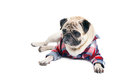Pug dog in a shirt funny cute pet wearing checked pattern lying on the floor looking aside with curiosity isolated on white Royalty Free Stock Photography