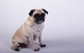 Pug dog sitting little is and waiting Royalty Free Stock Images