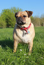 Pug dog standing on grass portrait cross Stock Photos