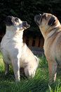 Pug dogs standing on grass portrait cross dog Stock Photo
