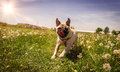 Pug in field a running at the spring Royalty Free Stock Image