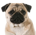 Pug head portrait isolated on white background Royalty Free Stock Image